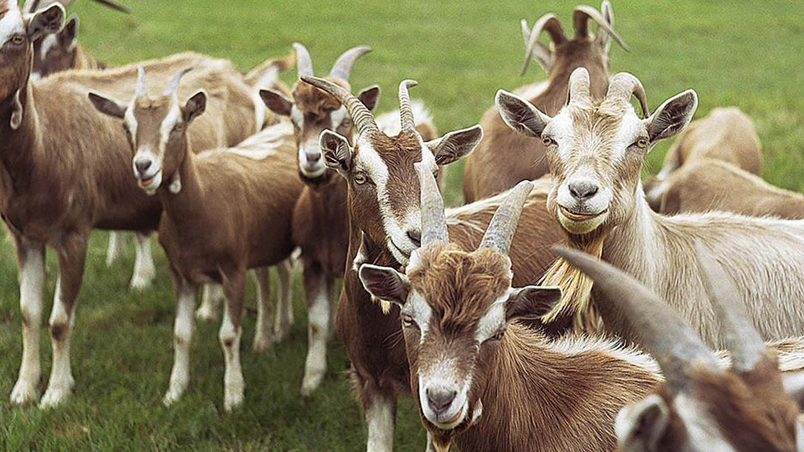 Goat | Welcome to Farm Application